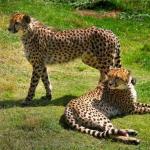Cheetahs at Orana Park